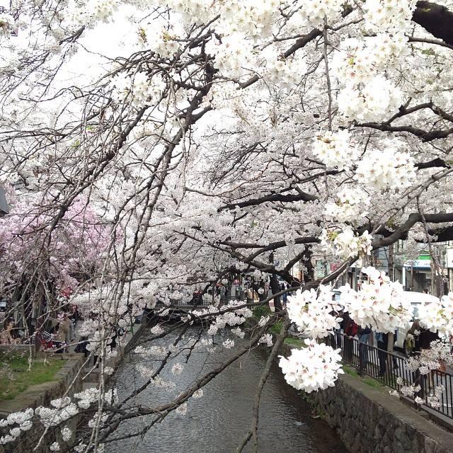 京都 さくら